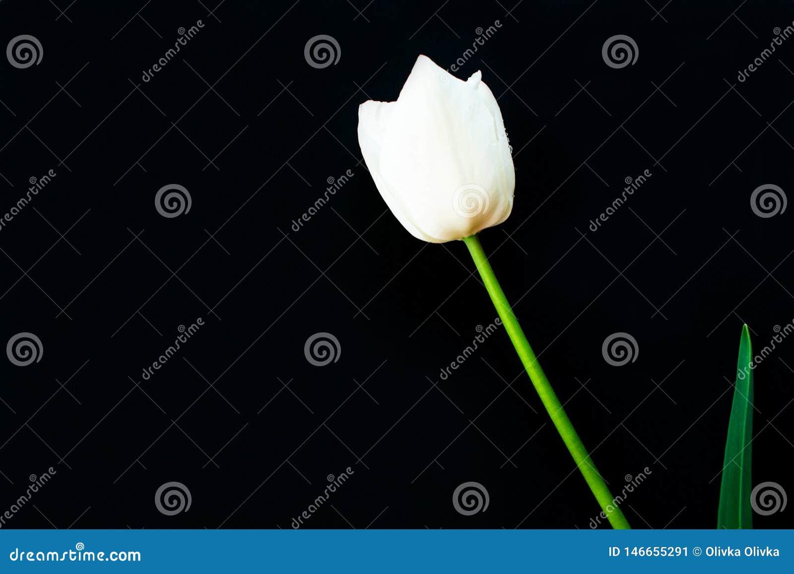 Geïsoleerde witte tulp op een zwarte achtergrond