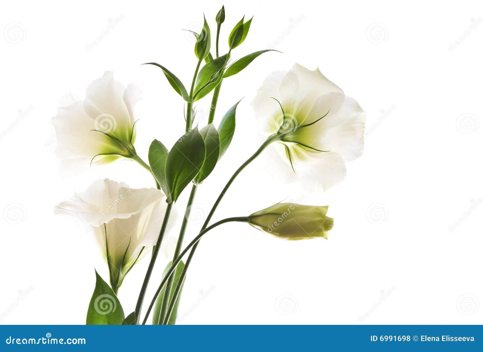 Uitzonderlijk Geïsoleerdea witte bloemen stock foto. Afbeelding bestaande uit #FU66