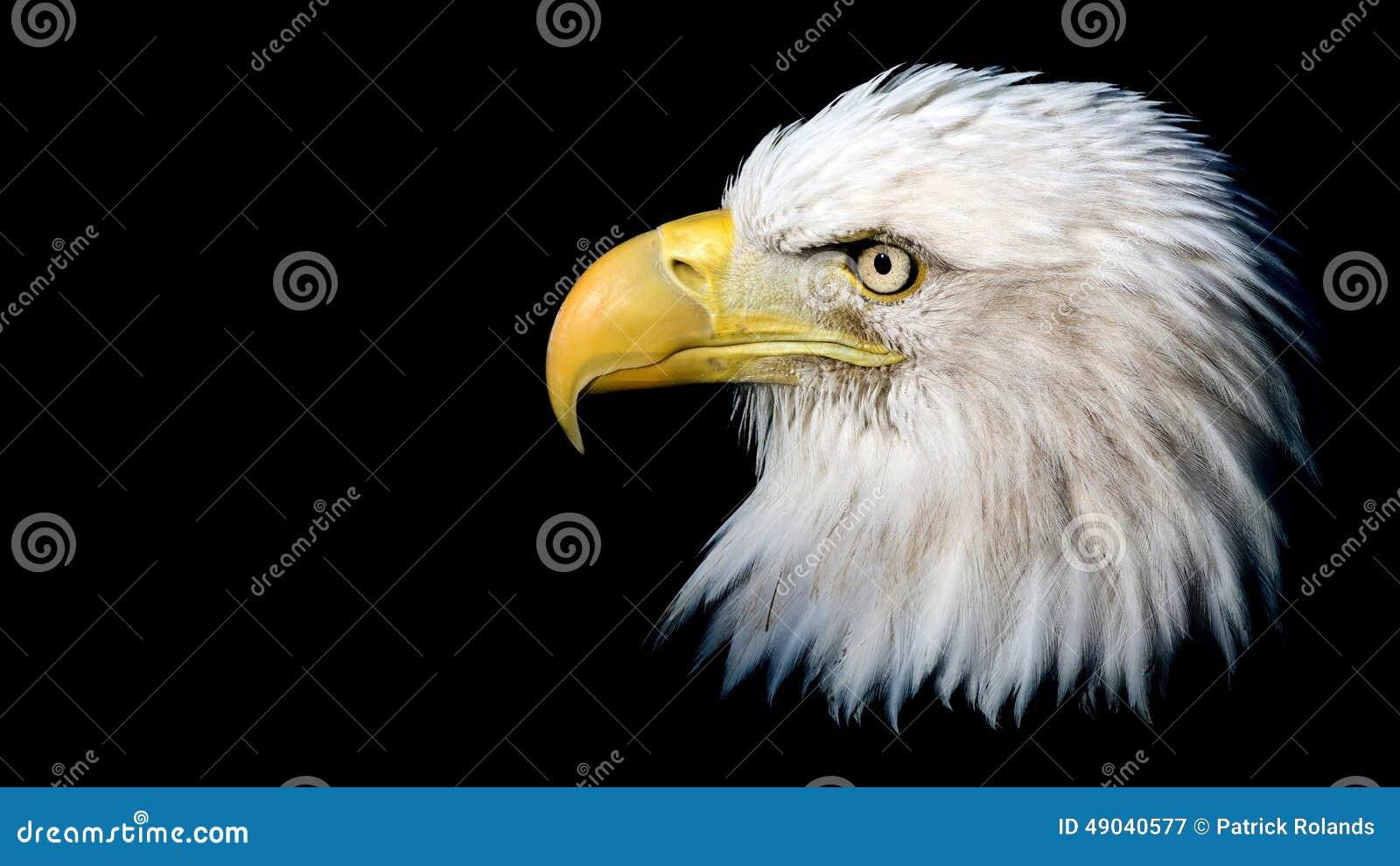 Geïsoleerdee kale adelaar
