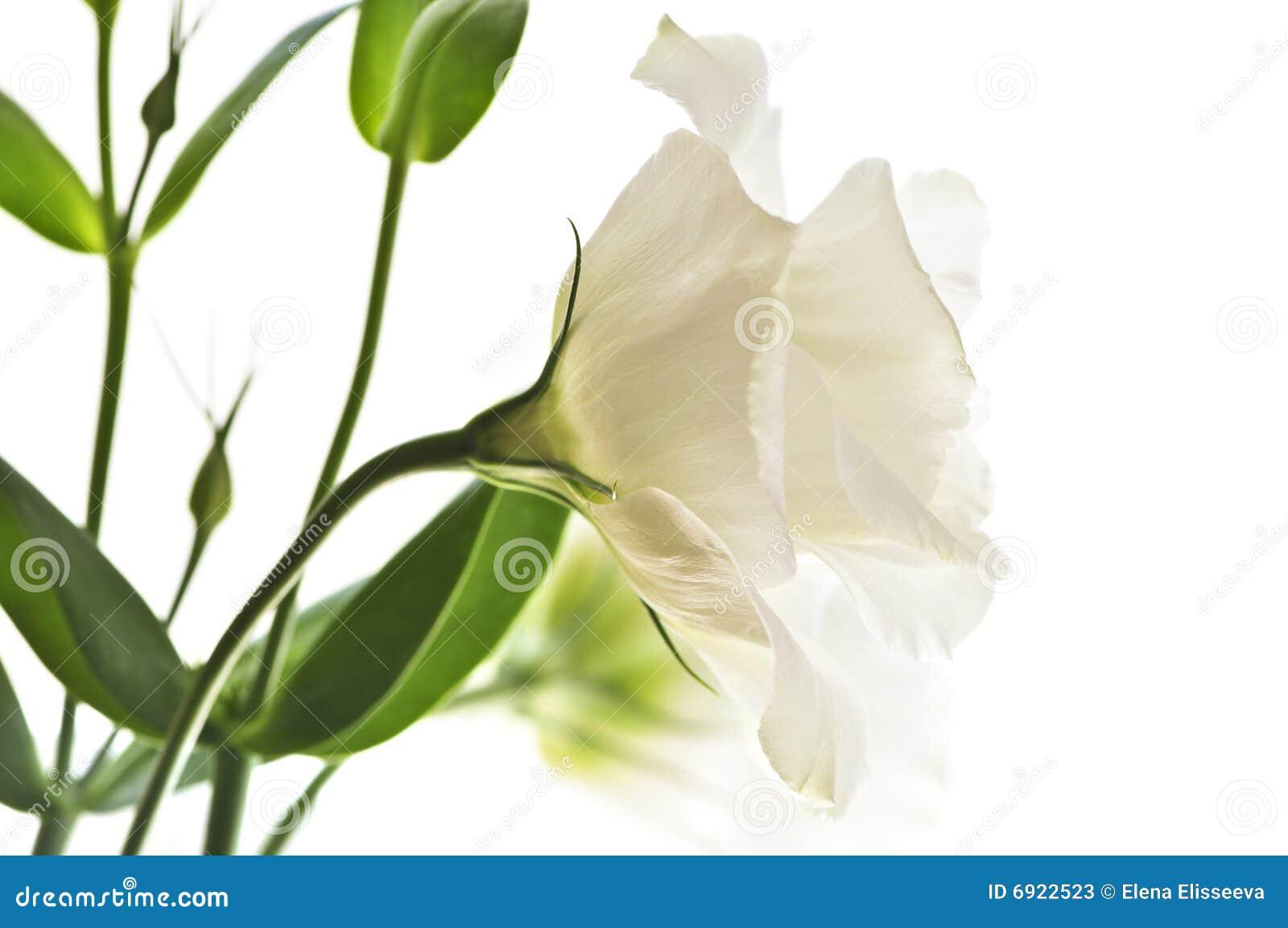 Bedwelming Geïsoleerdee witte bloemen stock afbeelding. Afbeelding bestaande #SQ14