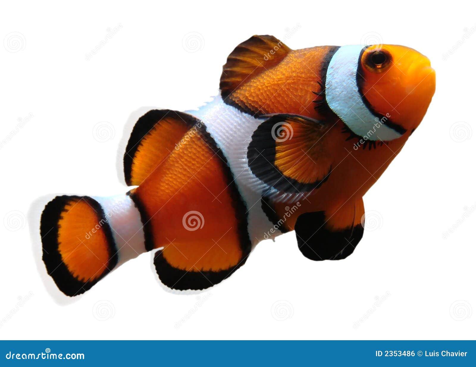 (Geïsoleerdek) Clownfish