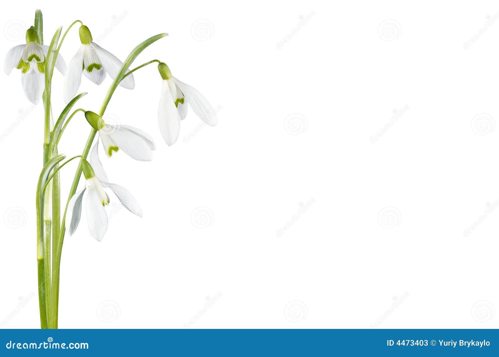 Geïsoleerder de bloem van het sneeuwklokje