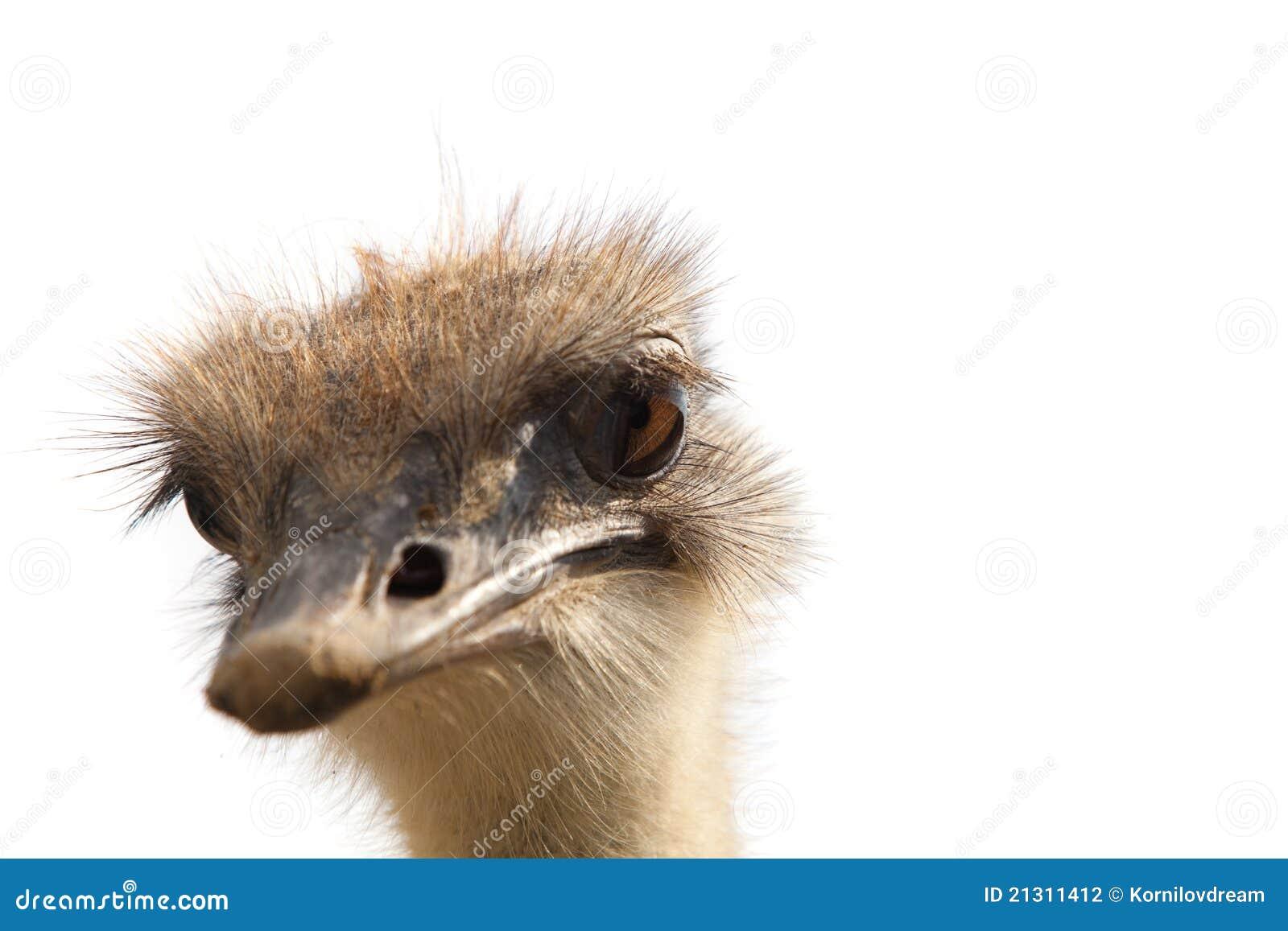 Geïsoleerder het hoofd van de struisvogel