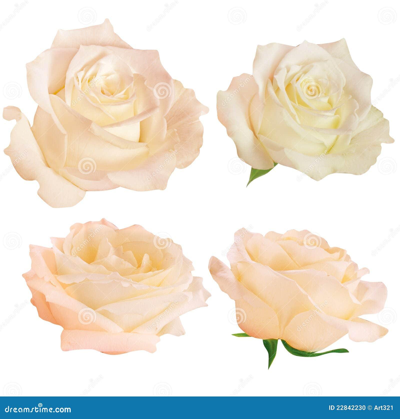 Geïsoleerdet reeks verse rozen