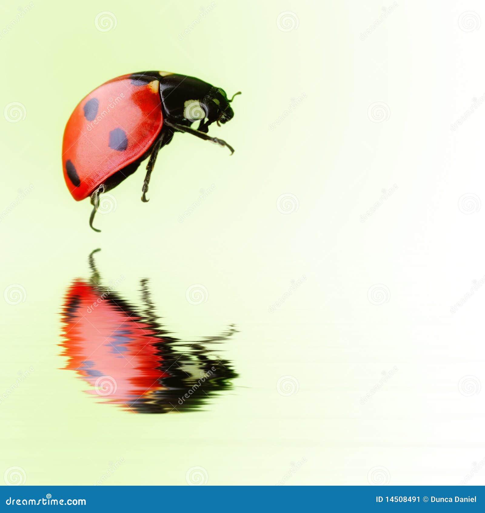 Geïsoleerds onzelieveheersbeestje over water