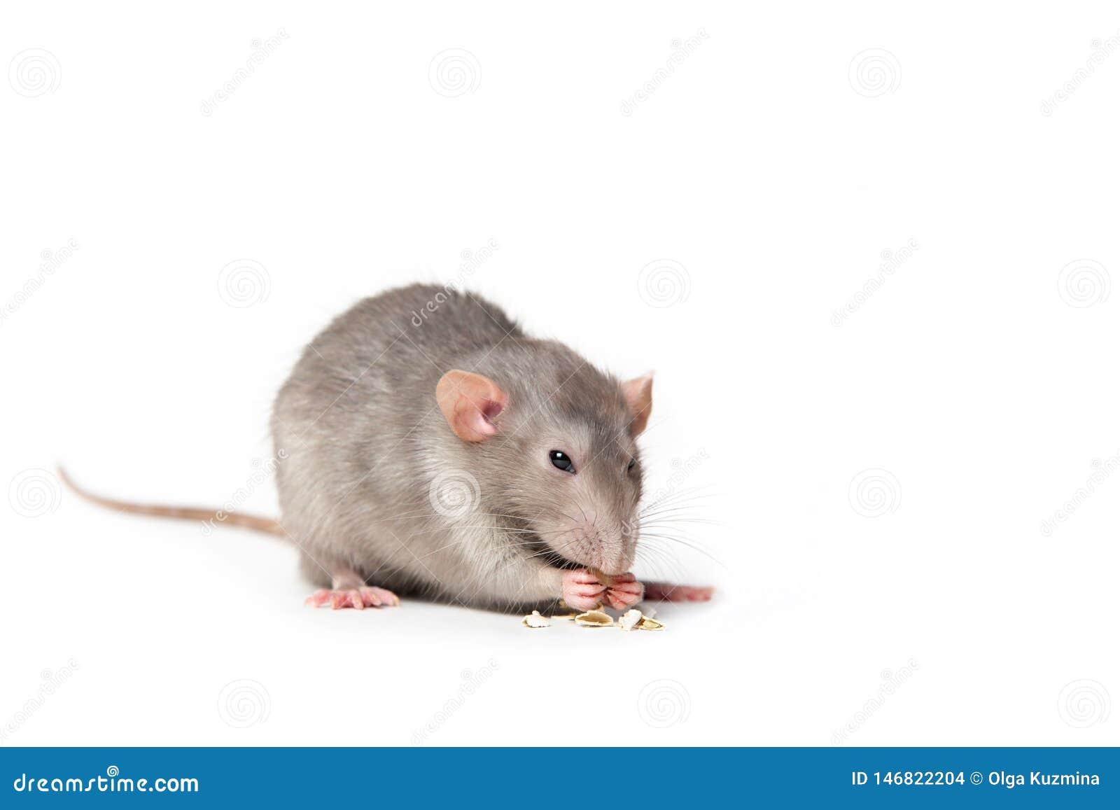 Ge?soleerd op witte achtergrond knaagt een rat aan een pompoenzaad Roze oren, zwarte ogen, decoratieve rat, huisdier