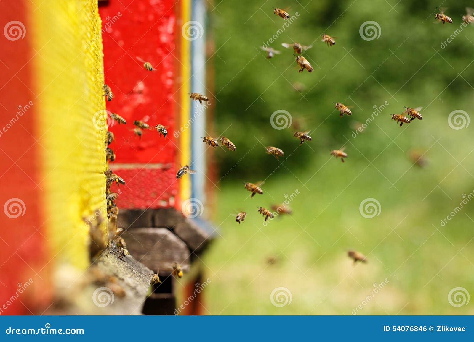 Geacclimatiseerde honingbijen die naar hun bijenstal terugkeren