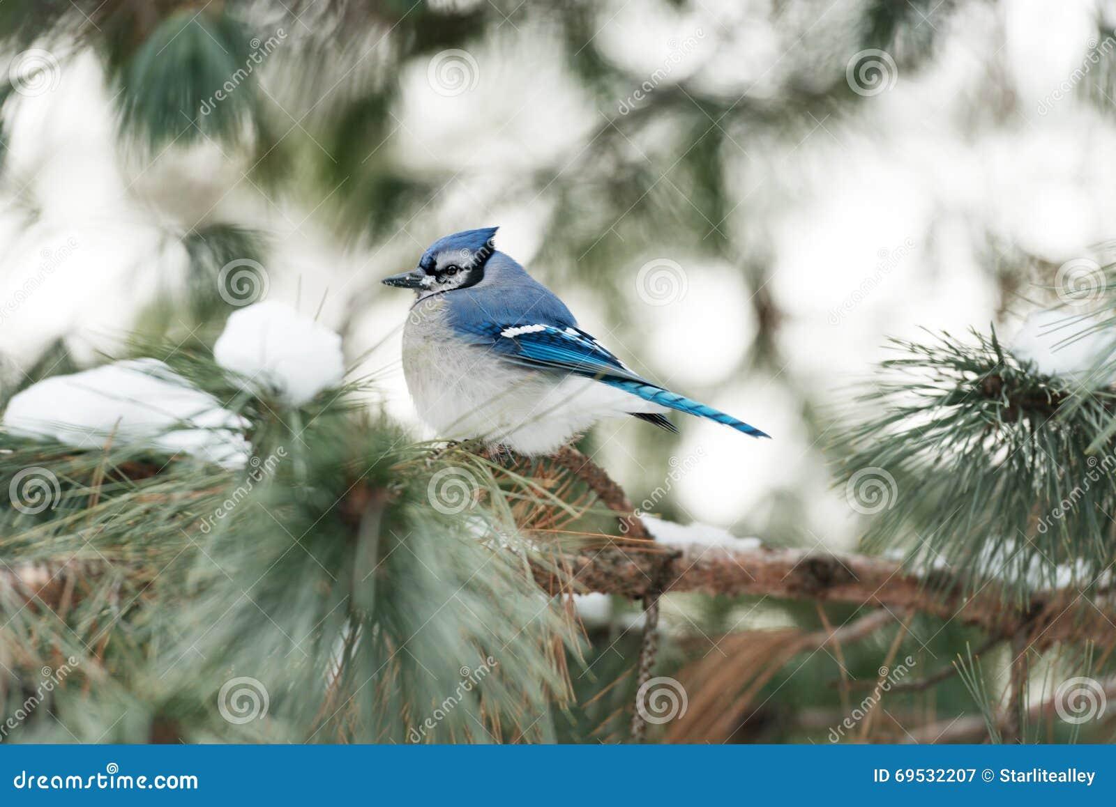 geai bleu en hiver image stock image du oiseau assez 69532207. Black Bedroom Furniture Sets. Home Design Ideas