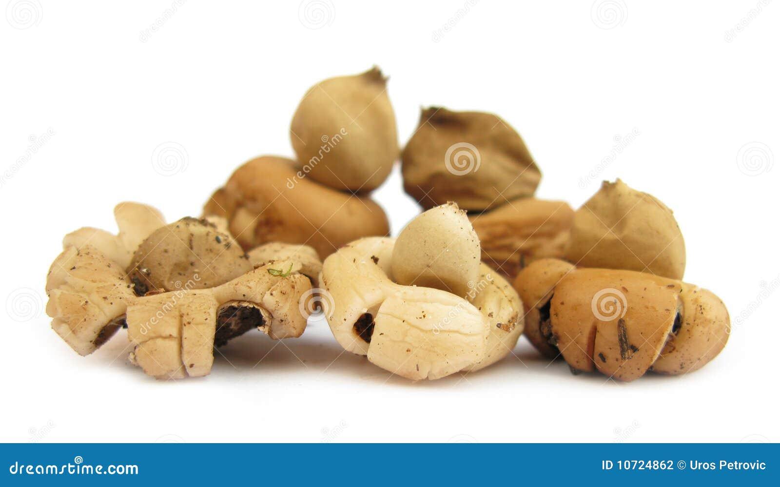 Geastrum Saccatum Earthstar Mushroom Stock Photo - Image of