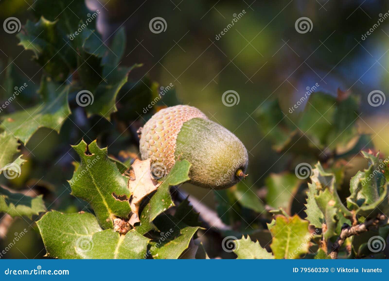 Gebürtige Immergrüne Mittelmeeranlage Kermeseiche Quercus