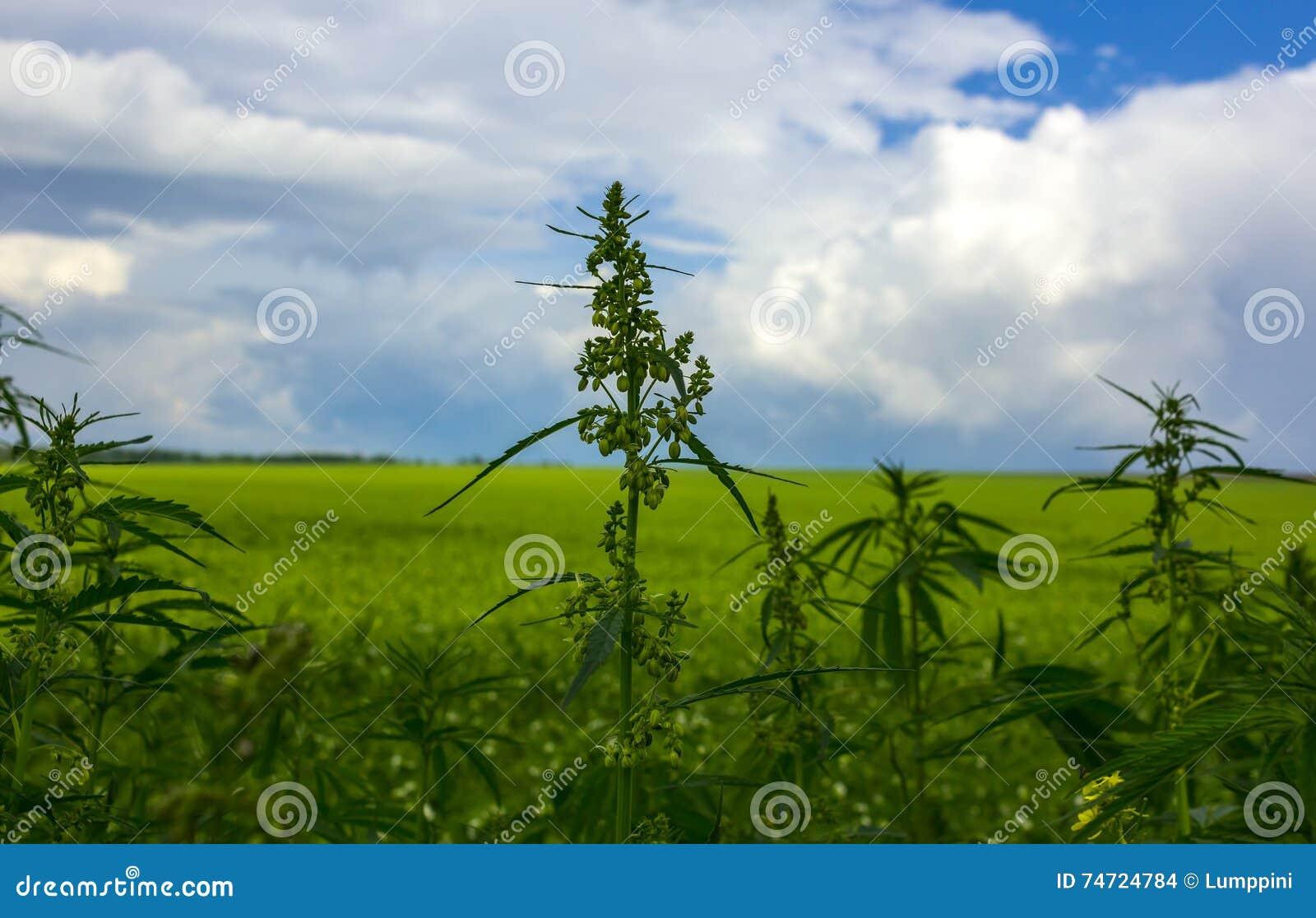 Gebied met cannabis marihuanastruik