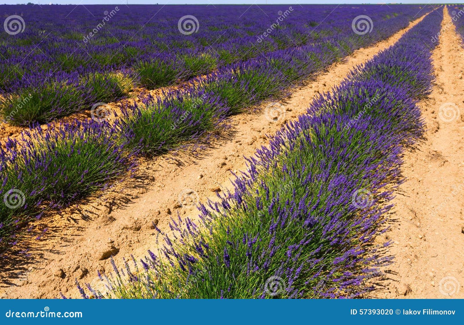 Gebied met installatie van lavendel