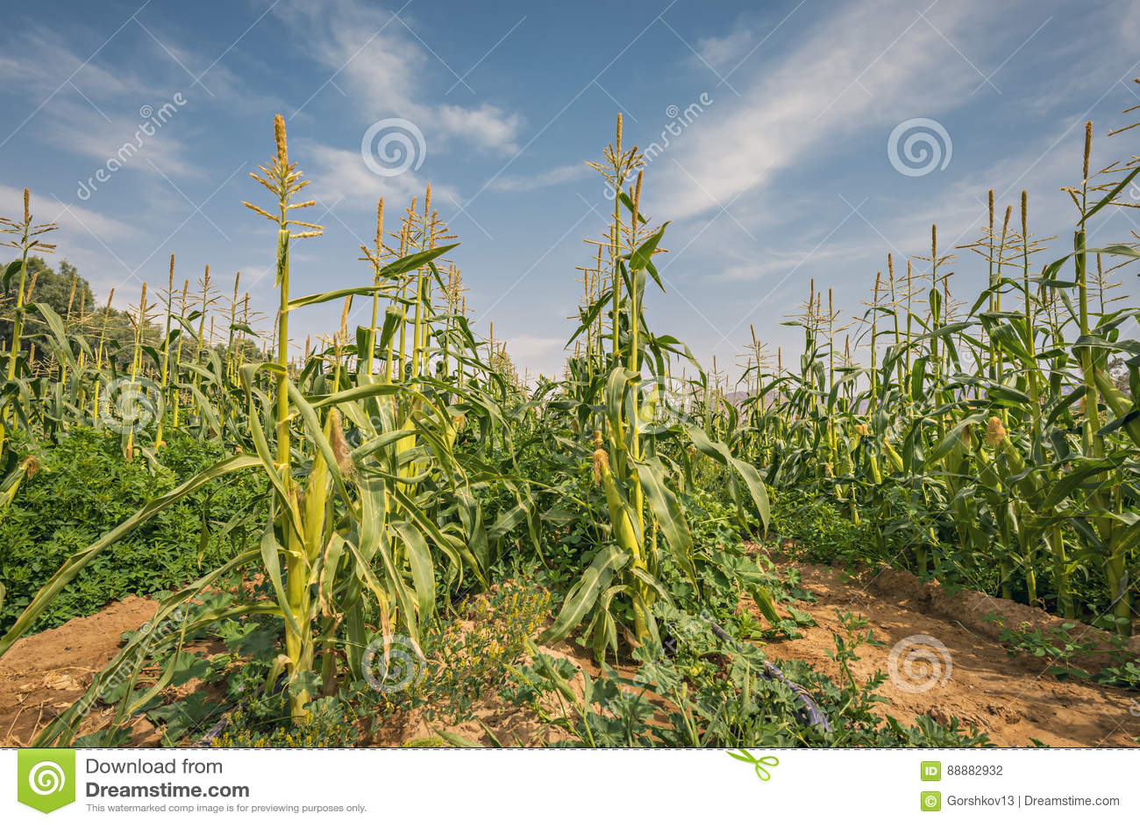 Gebied met rijpend graan in de Negev-woestijn