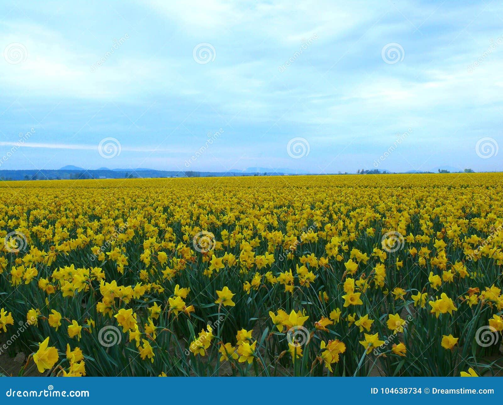Download Gebied van gele bloemen stock foto. Afbeelding bestaande uit bloemen - 104638734