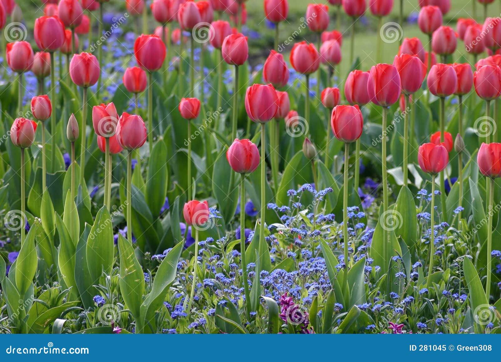 Gebied van Rode Tulpen