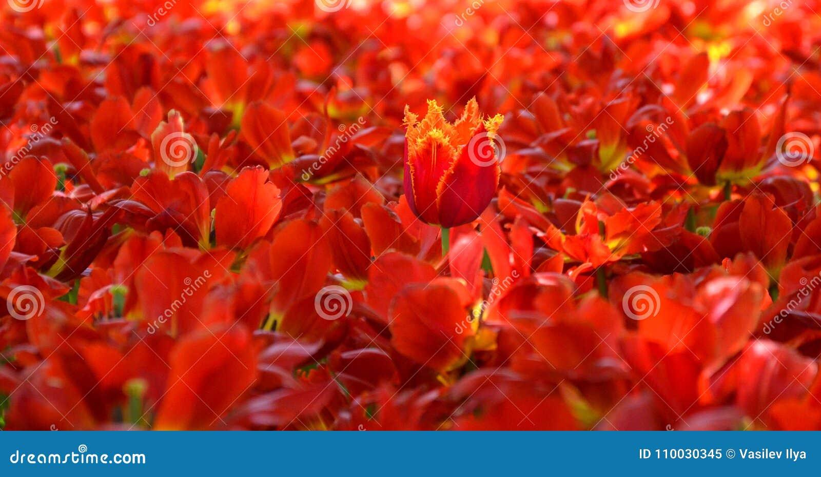 Gebied van rode tulpenachtergrond