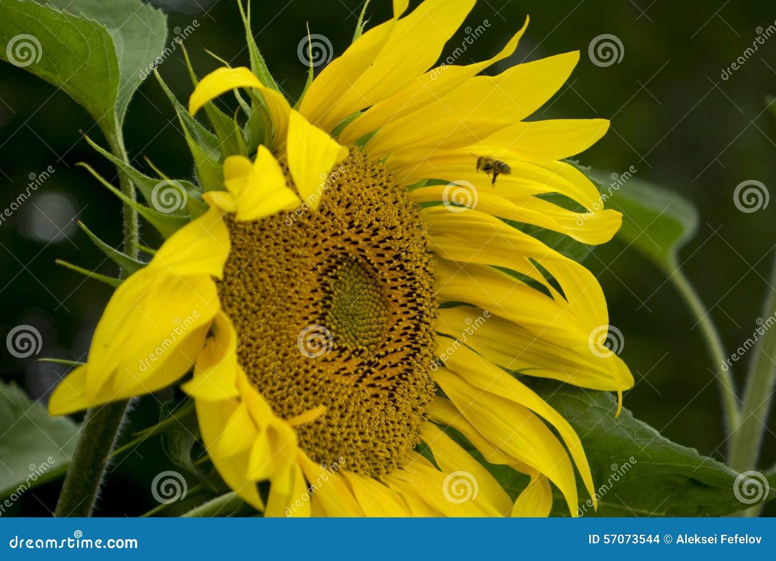Gebied van Sunflowers