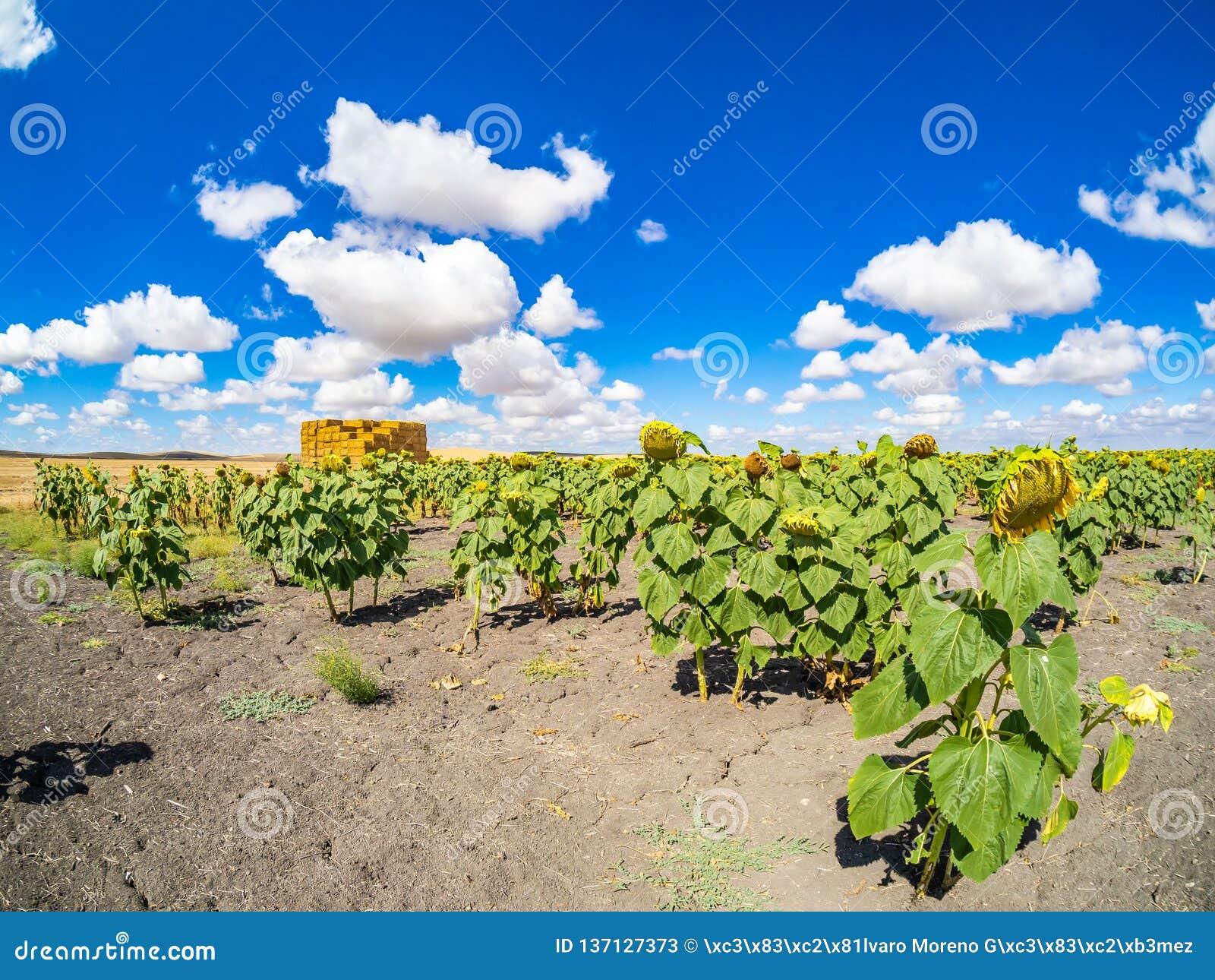 Gebied van zonnebloemen in het Sevillian platteland