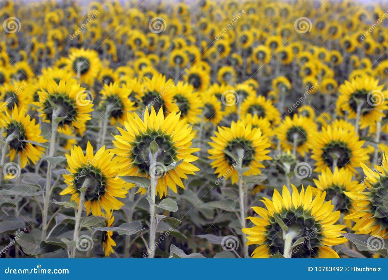 Gebied van zonnebloemen van erachter