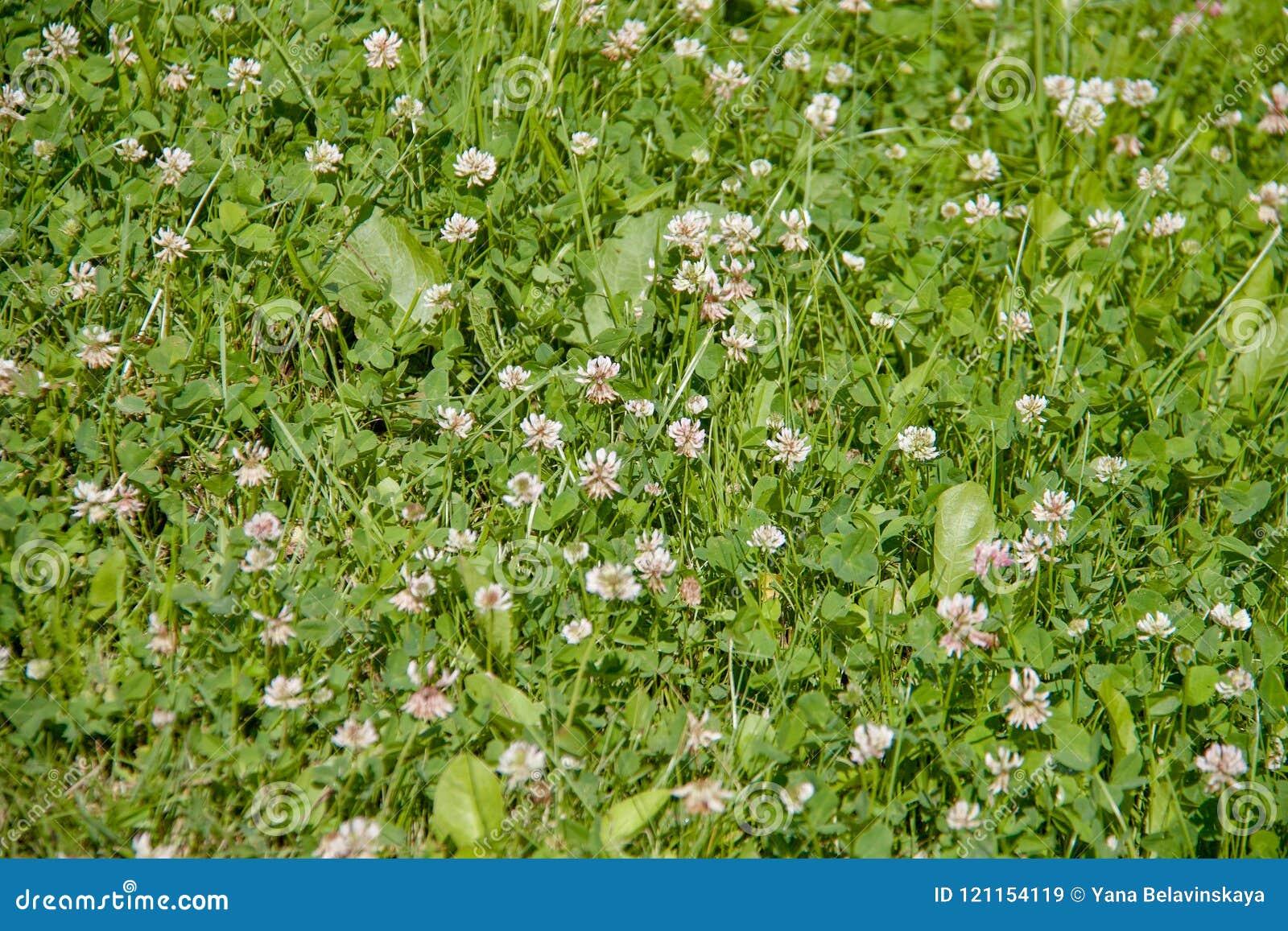 Gebiedshoogtepunt van groen gras met veel kleine witte bloemen