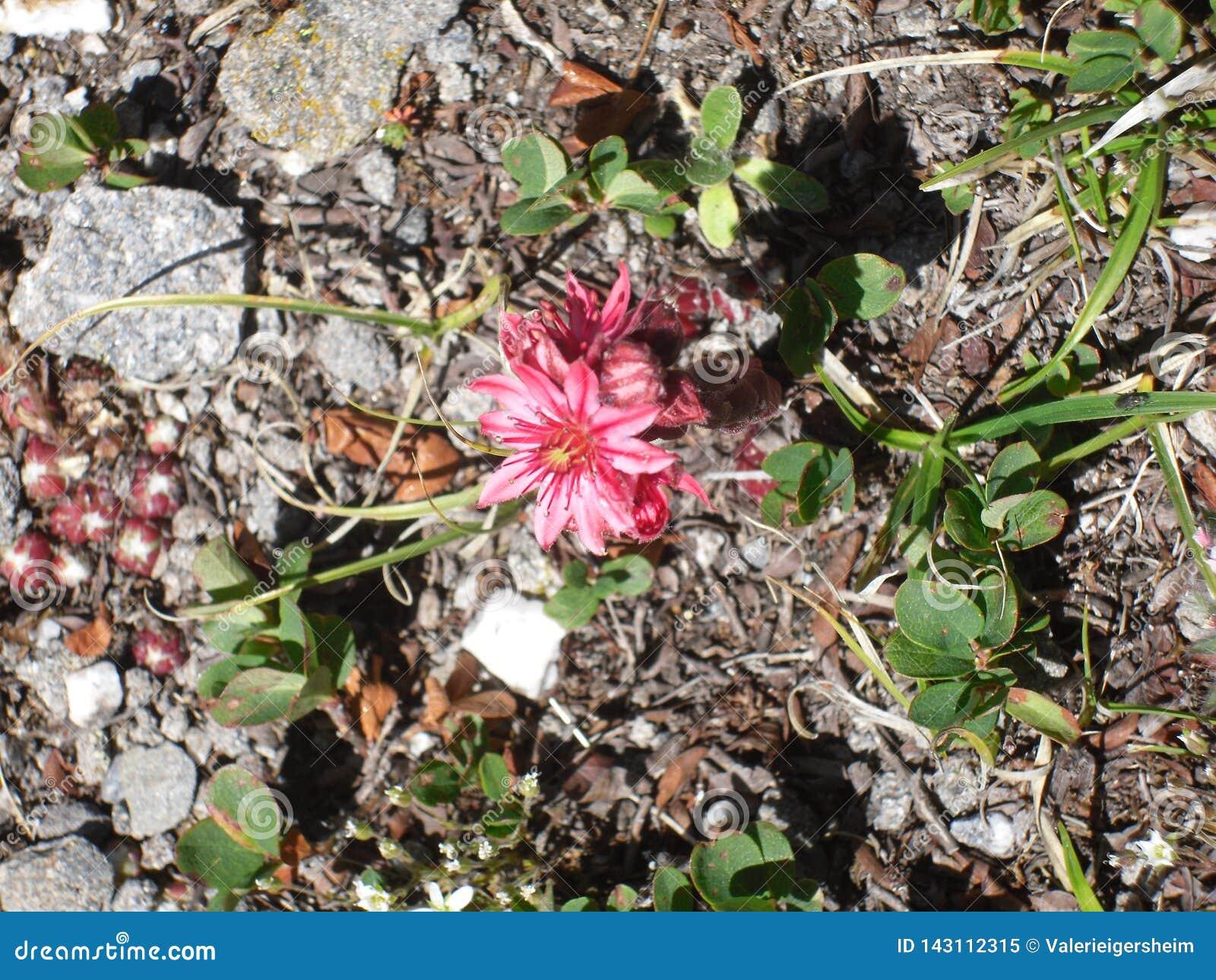 Gebirgsflora in den französischen Alpen