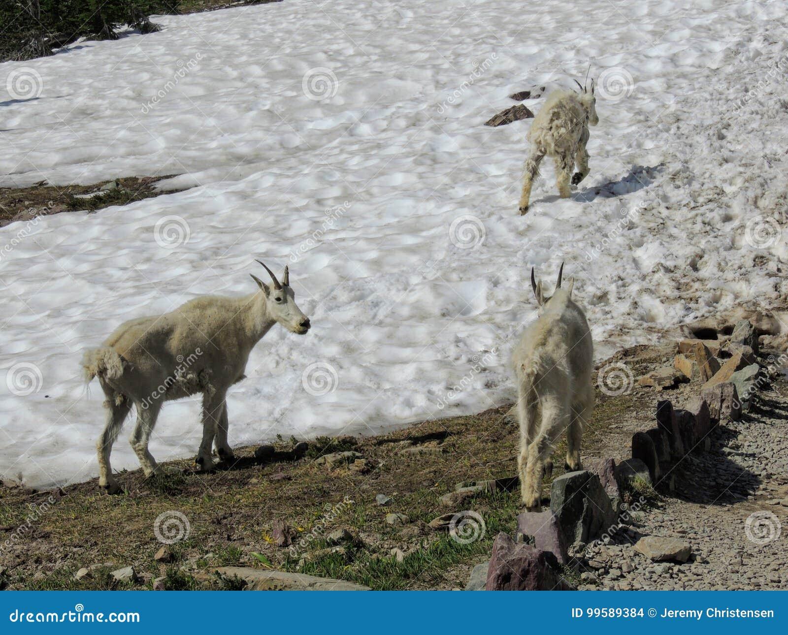 Gebirgsziege Oreamnos americanus an Gehen-zu-d-Sun-Straße, entlang Wanderweg bei Logan Pass Glacier National Park Montana USA