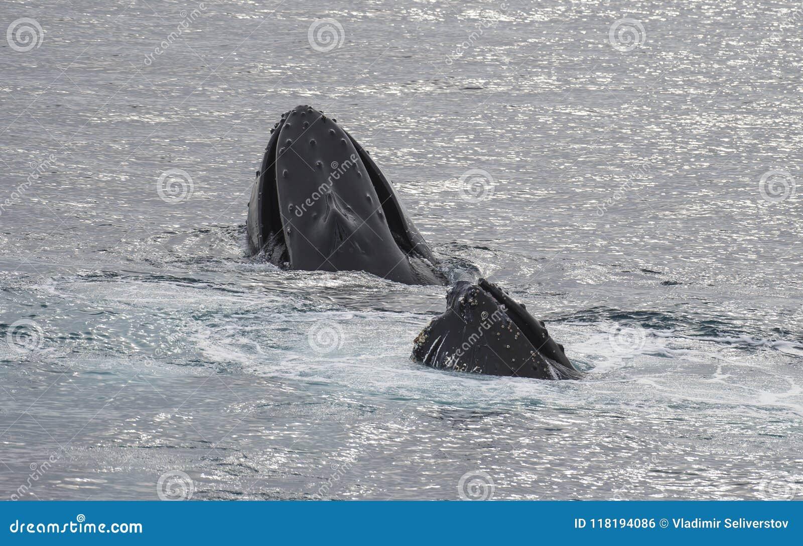 Gebocheldewalvis het voeden kril