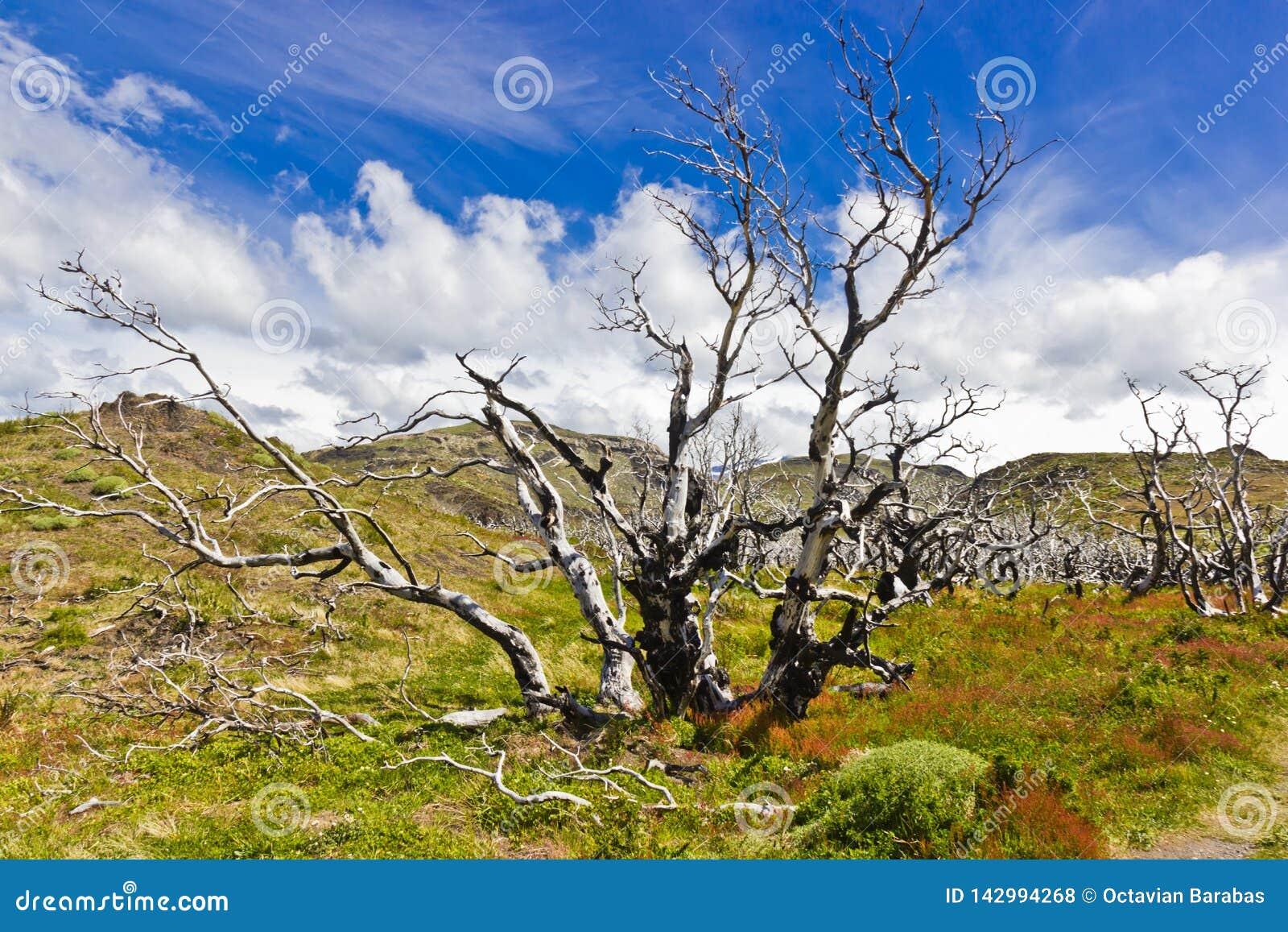 Gebrannte Bäume in Naturschutzpark Torres Del Paine