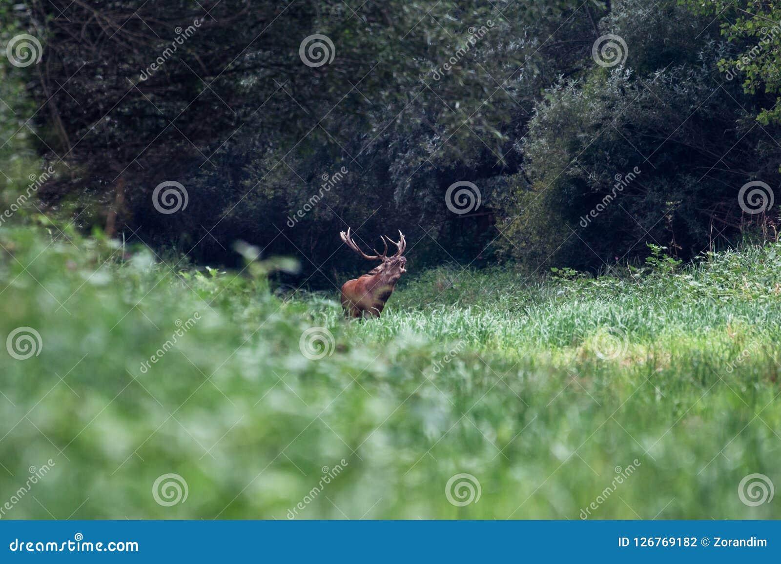 Gebrul van majestueus krachtig volwassen rood hertenmannetje in groen bos