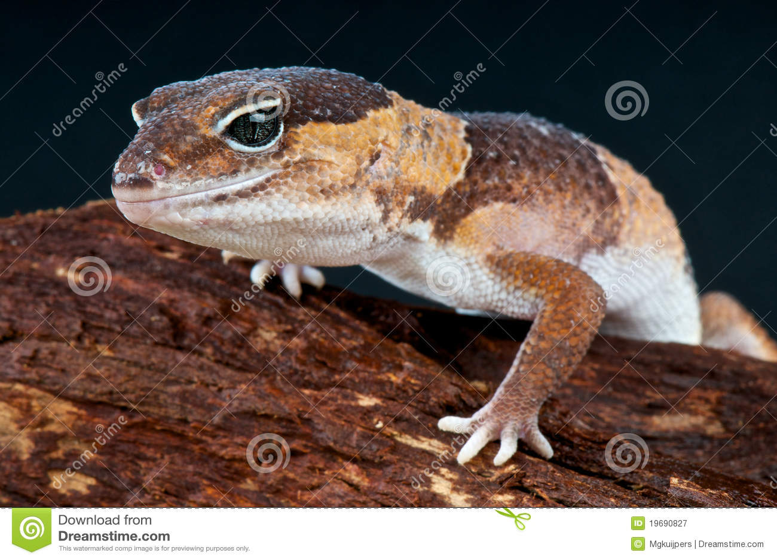 Gecko à queue adipeuse