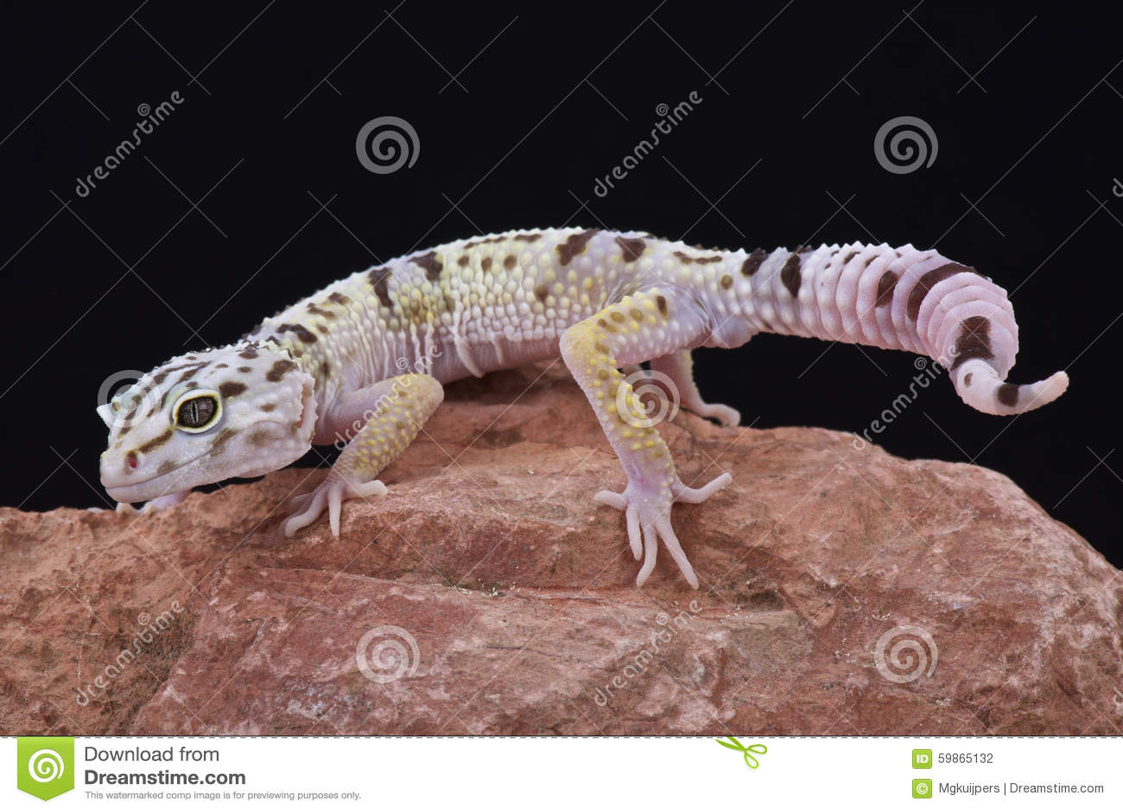 Gecko à queue adipeuse iranien (angramainyu d Eublepharis)