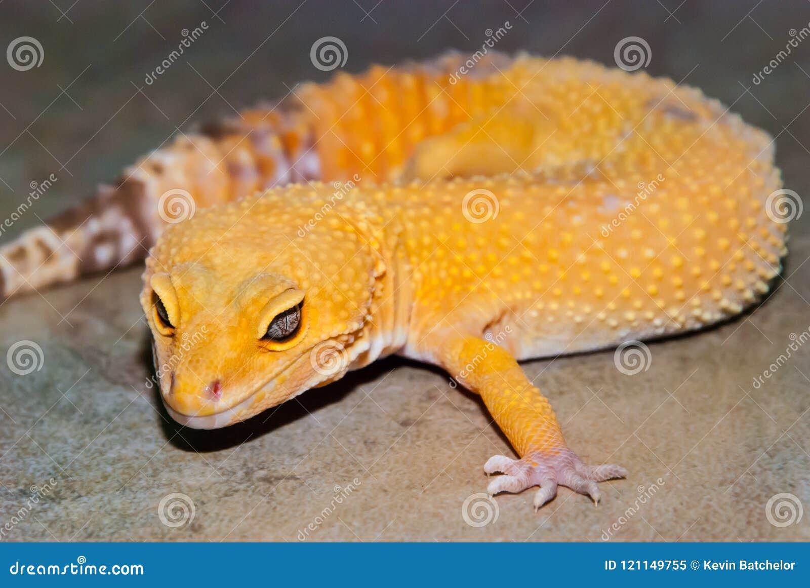 Gecko λεοπαρδάλεων