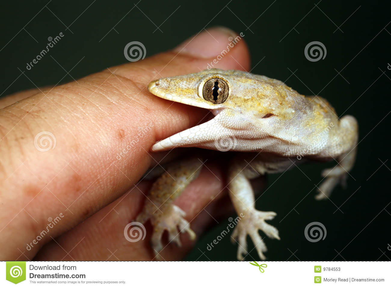 Tropical house gecko biting a finger.