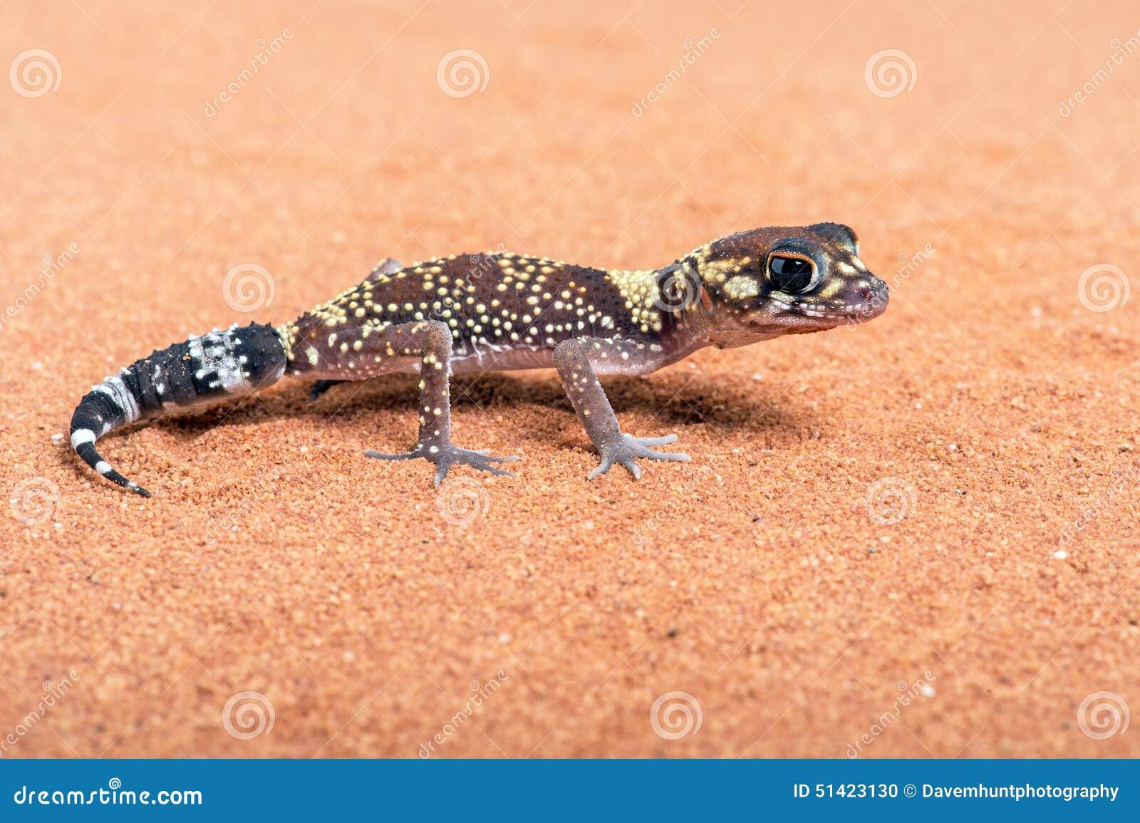 Gecko australien d écorcement (Underwoodisaurus Milii)