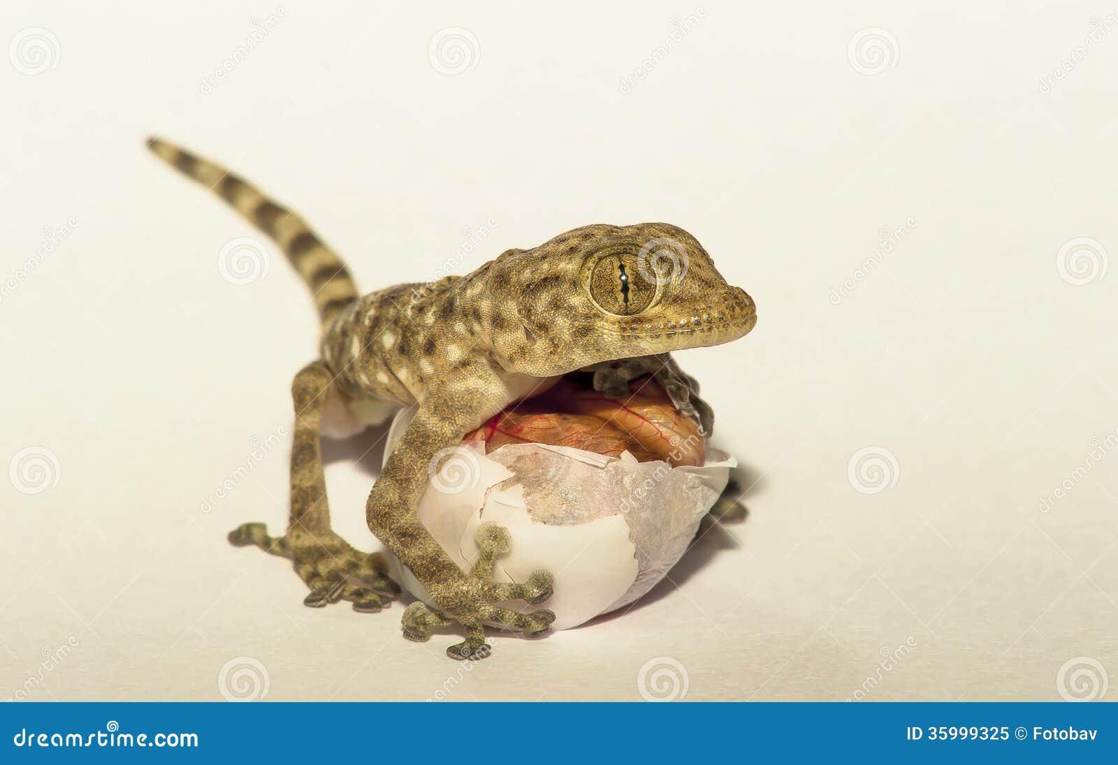 Gecko avec l oeuf