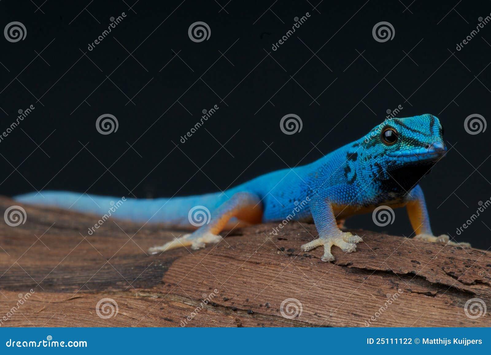 Gecko bleu électrique