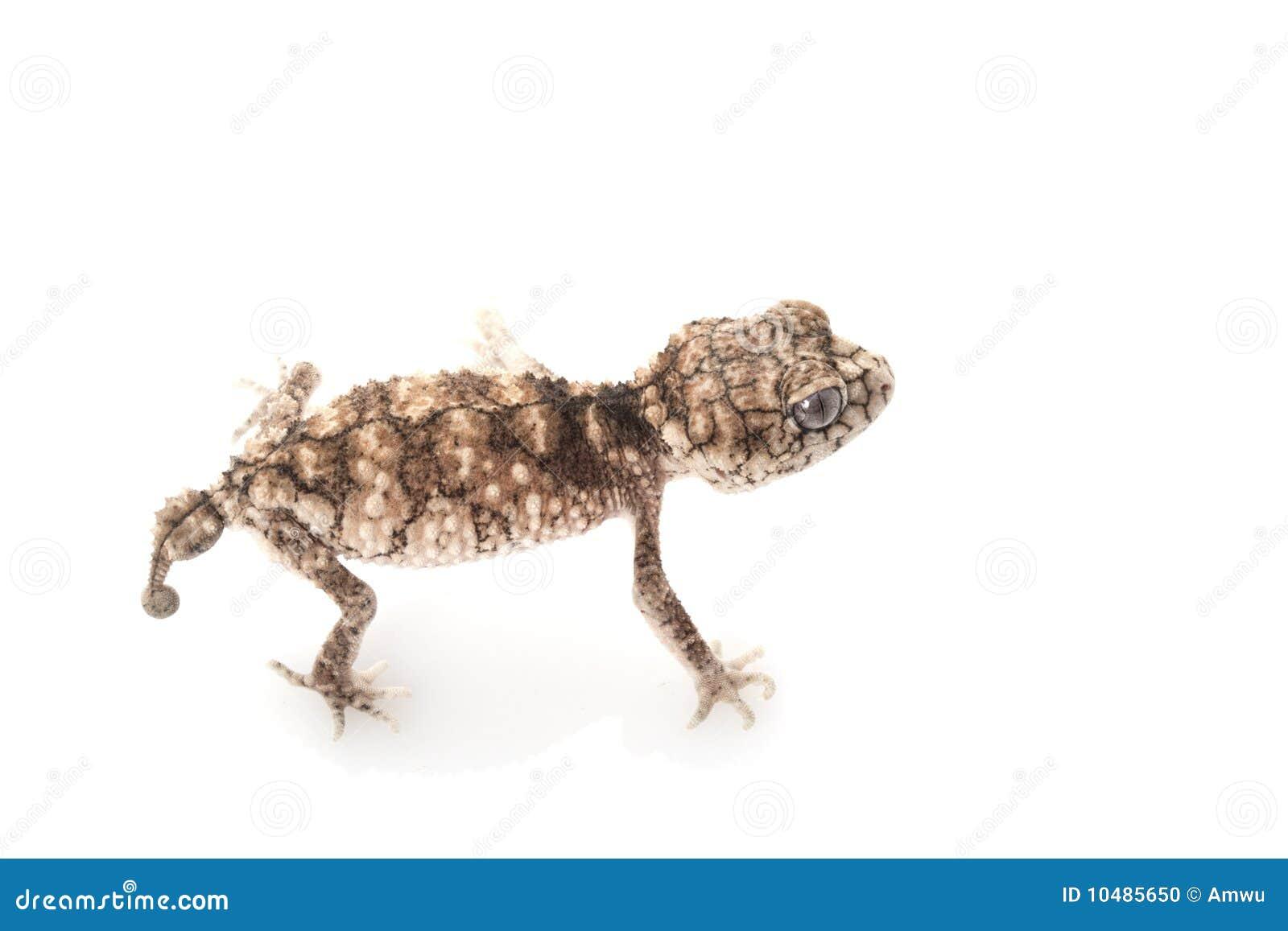Gecko Botão-atado áspero espinhoso