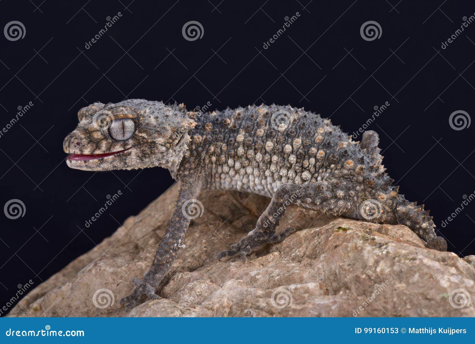 Gecko bouton-coupé la queue épineux, asper de Nephrurus