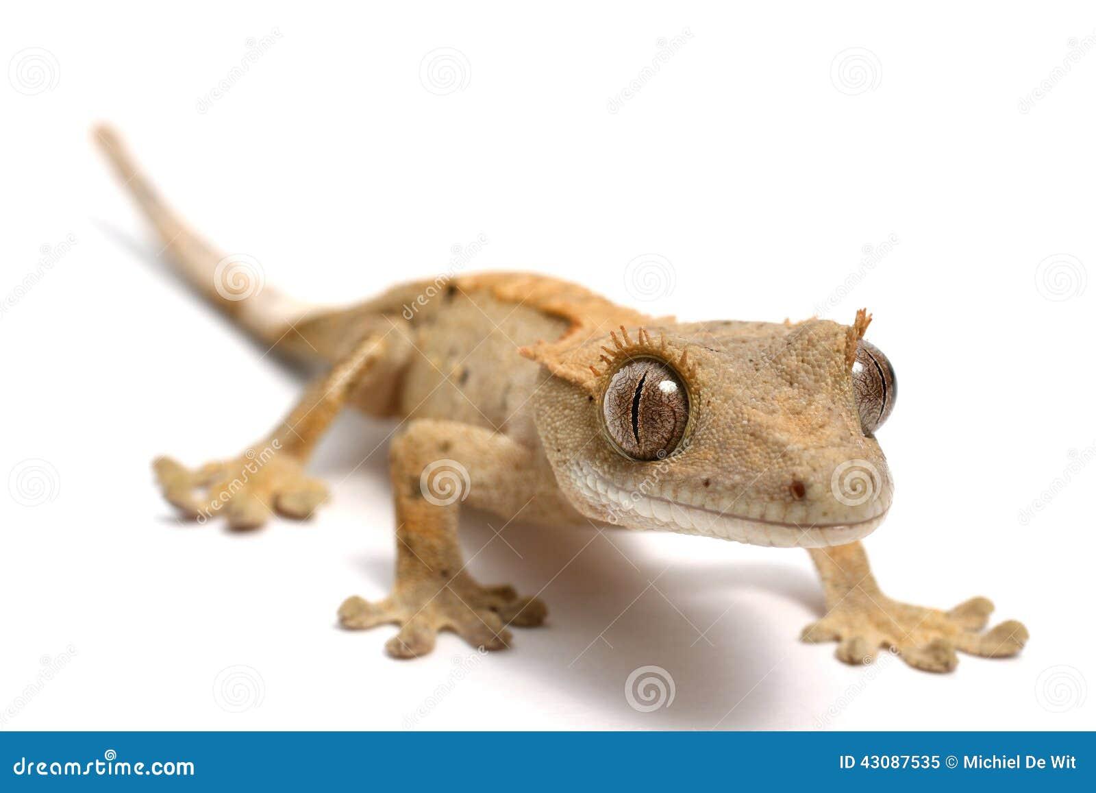 Gecko crêté