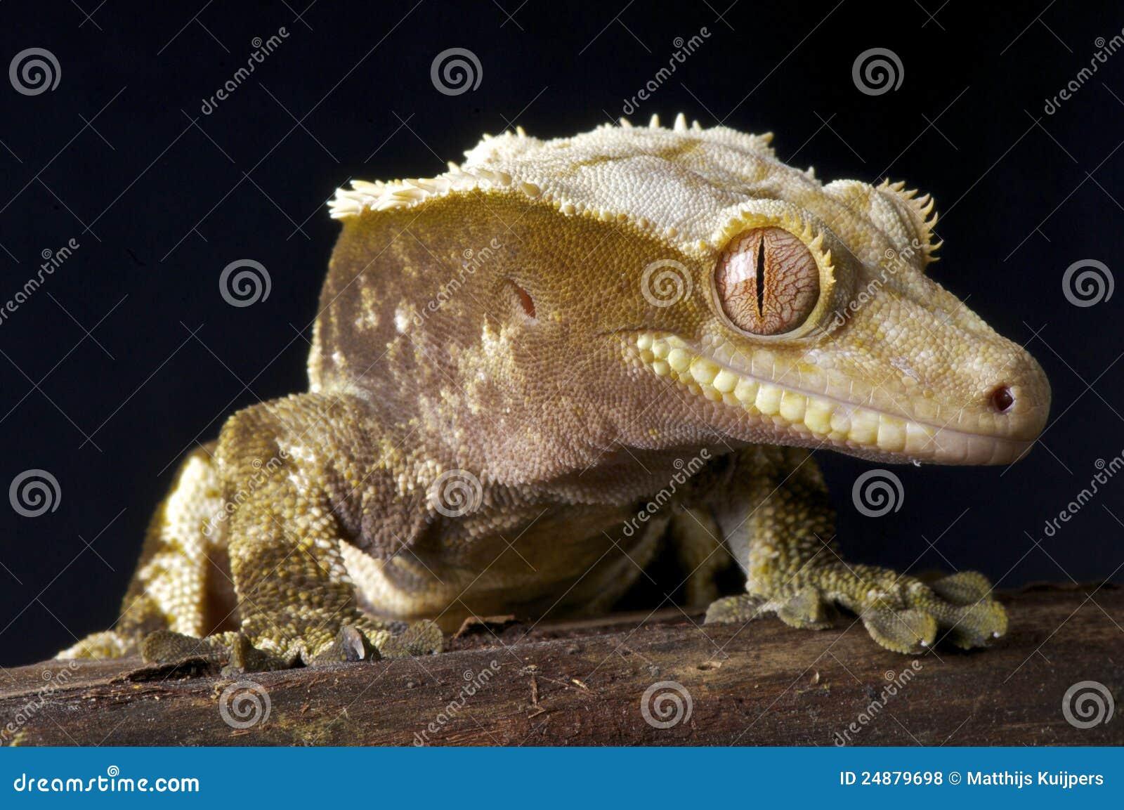 Gecko crestato