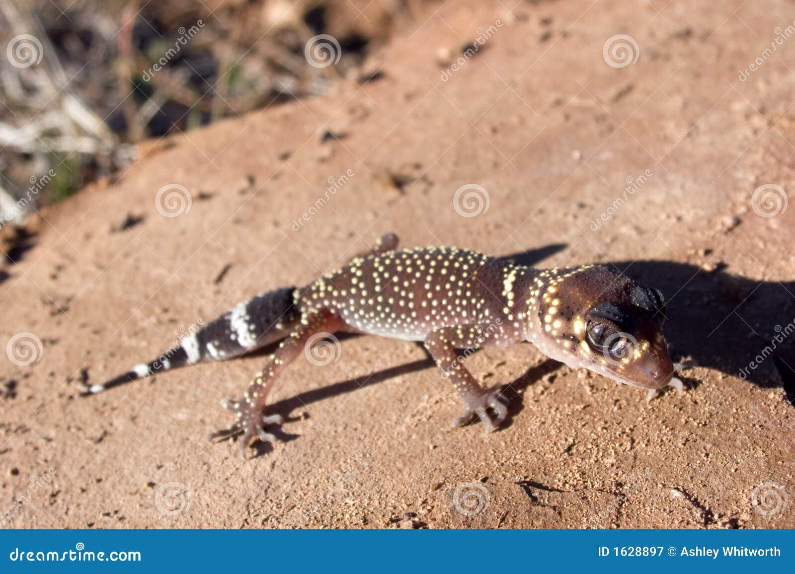 Gecko d écorcement
