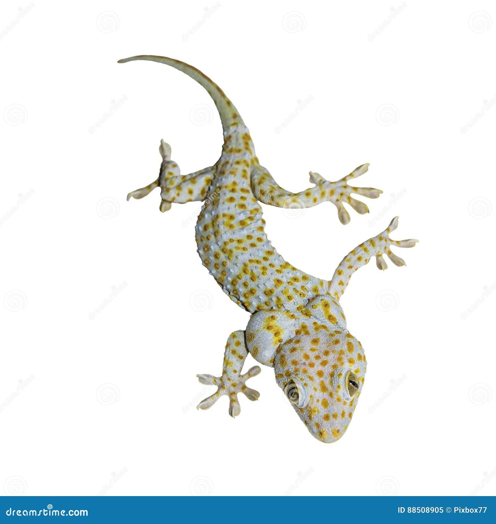 Gecko d isolement sur le blanc