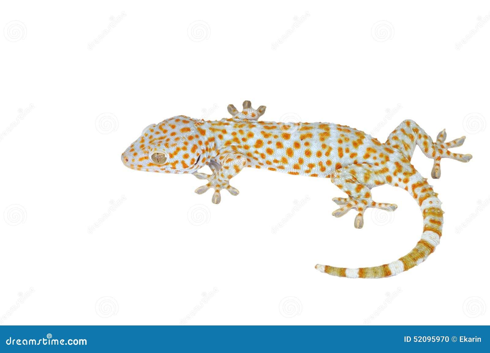 Gecko d isolement sur le fond blanc