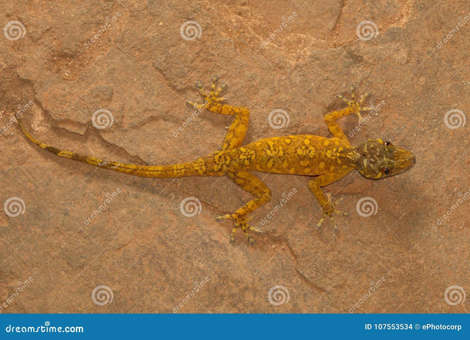 Gecko d or masculin, Calodactylodes doré Visakhapatnam