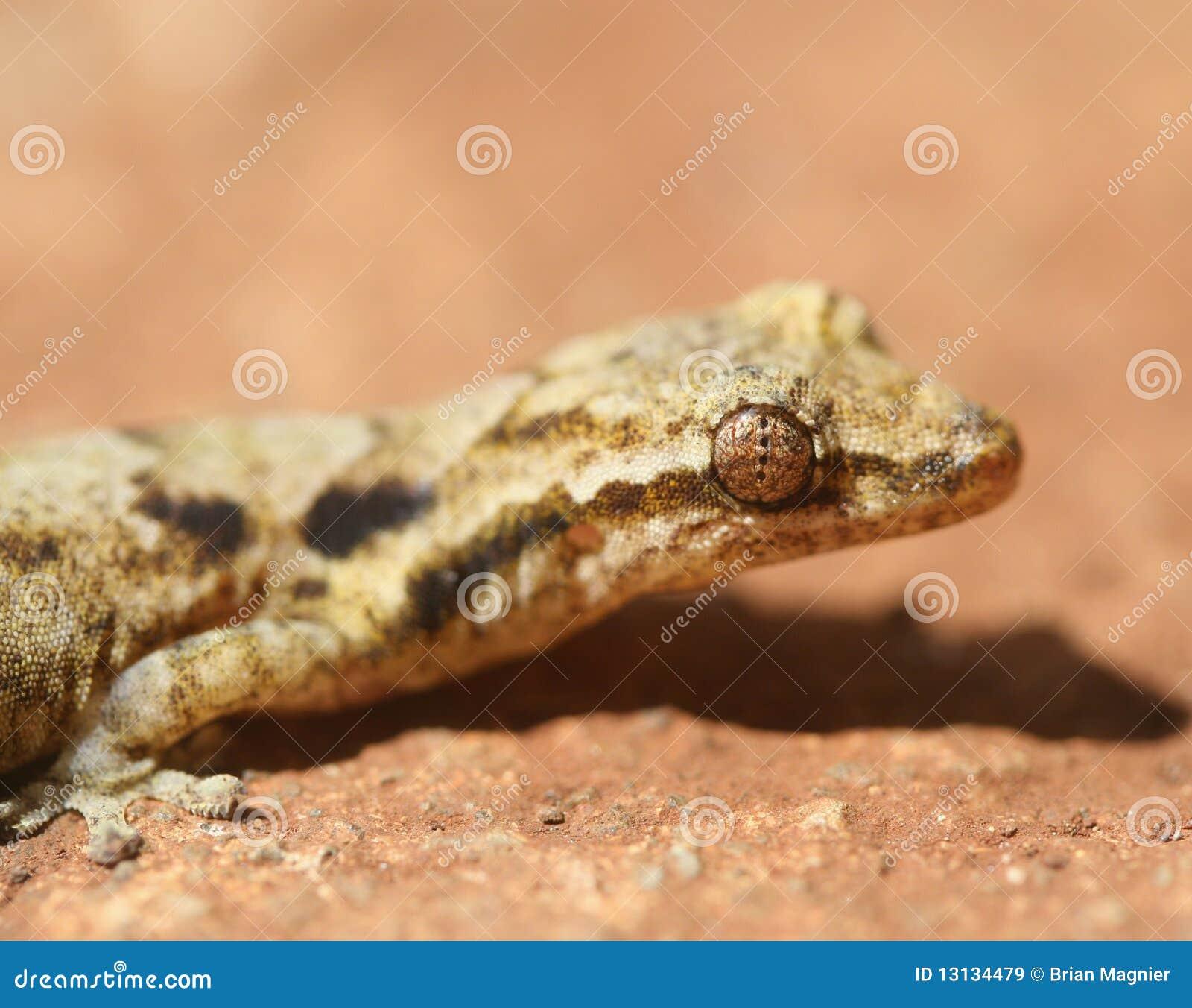 Gecko de Chambre