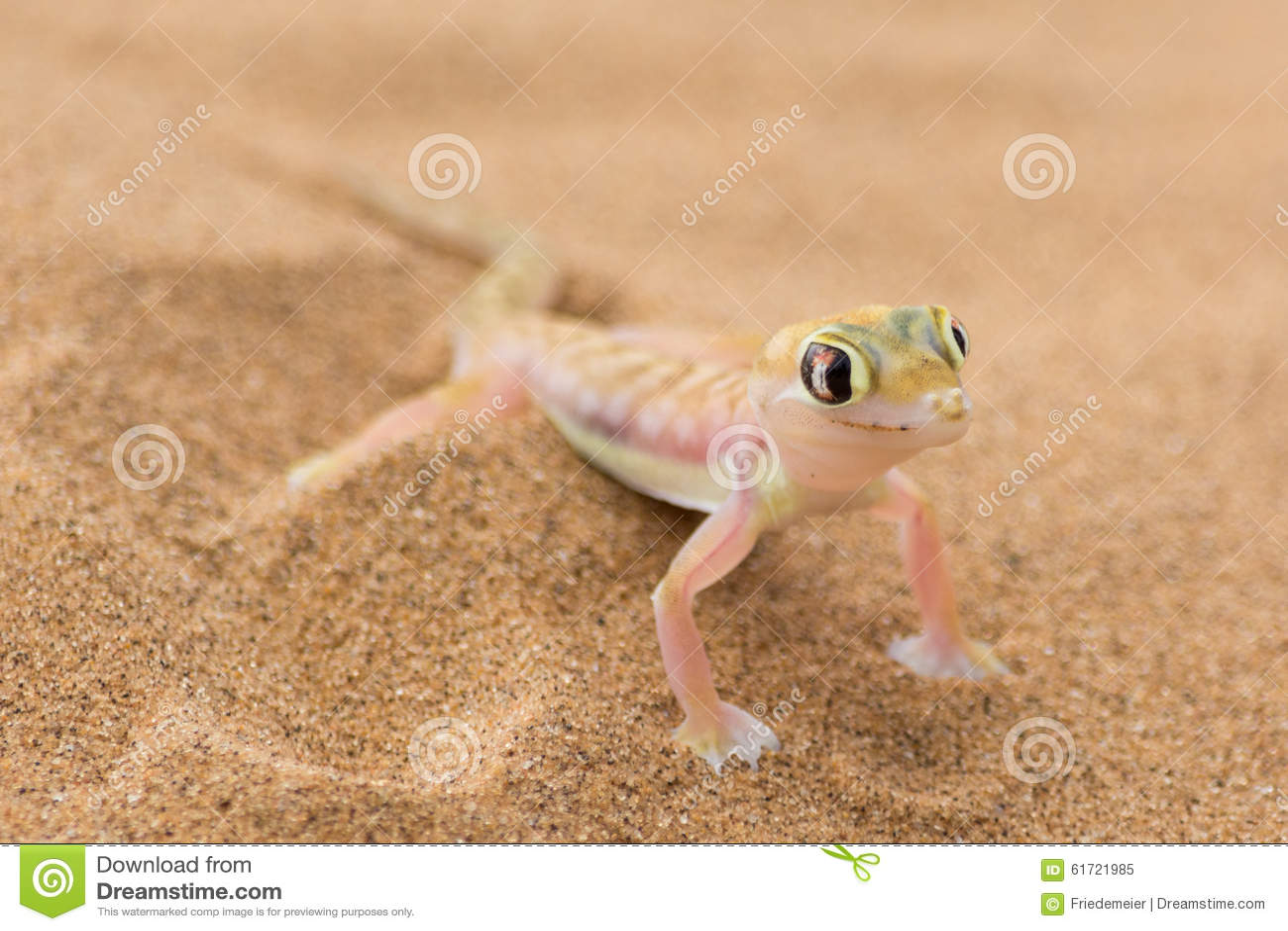 Gecko de désert