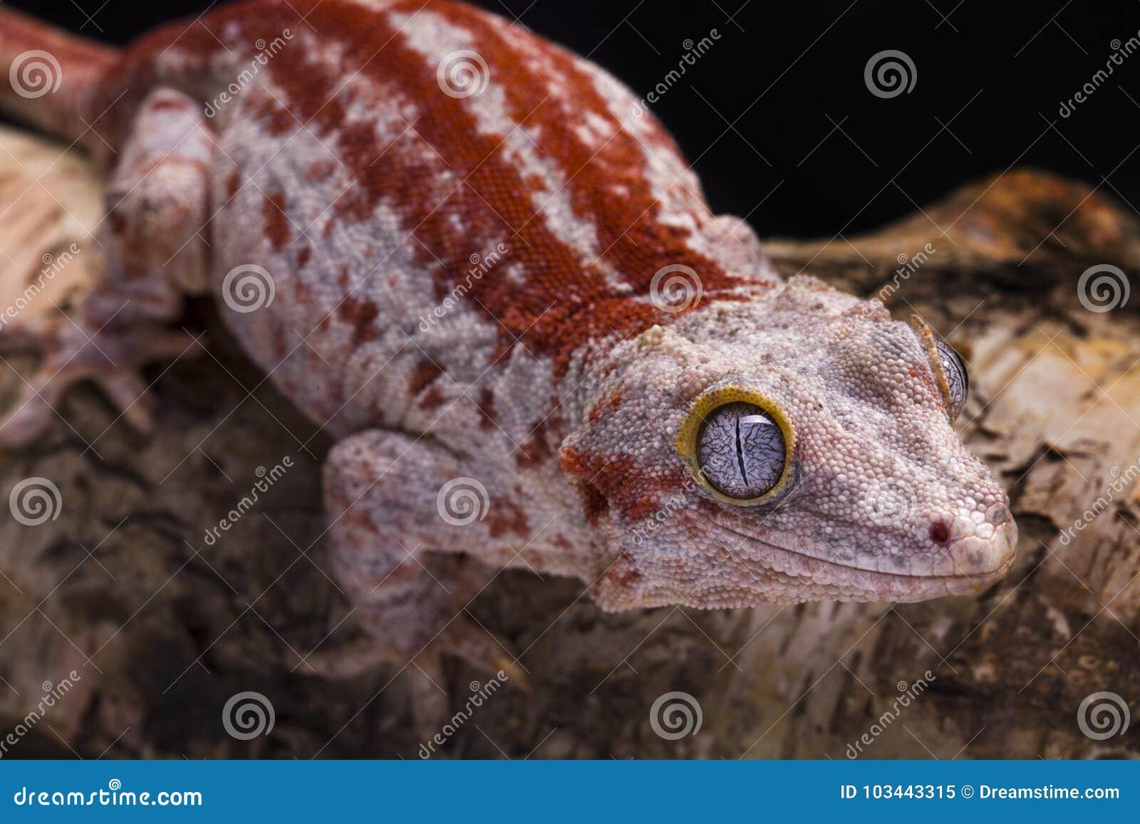 Gecko de gargouille
