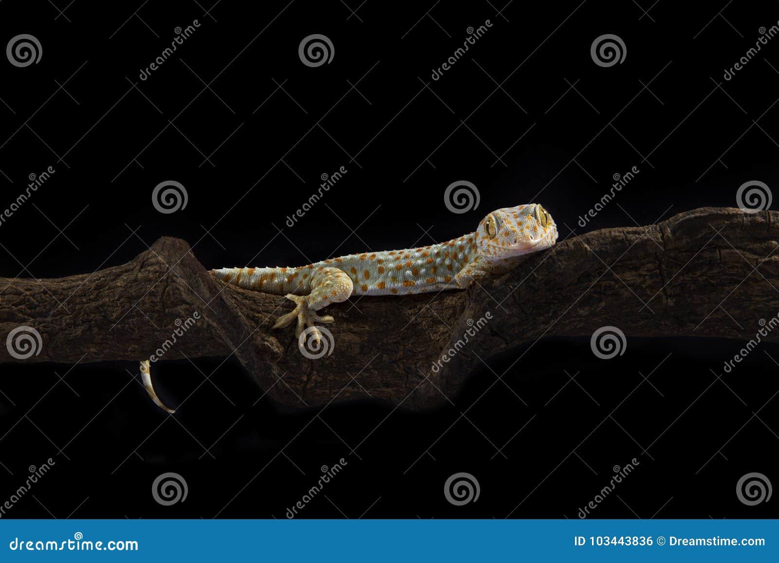 Gecko de Gekko