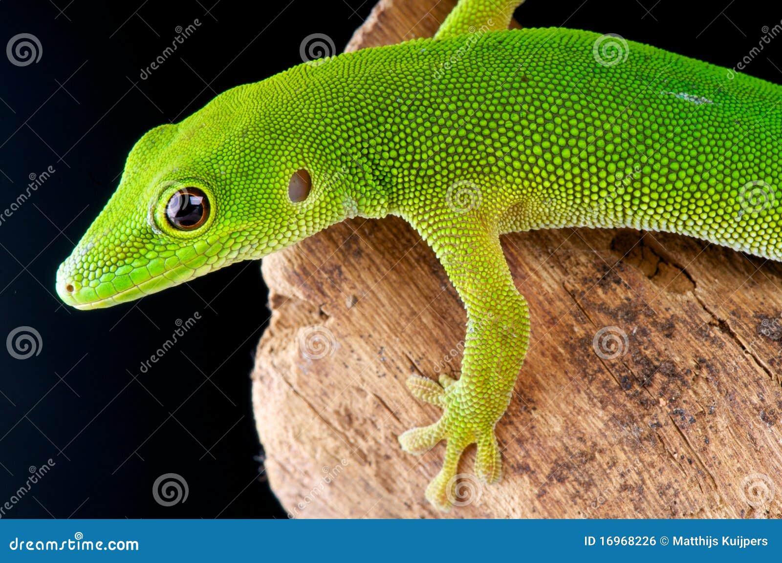 Gecko de jour d île de Pemba