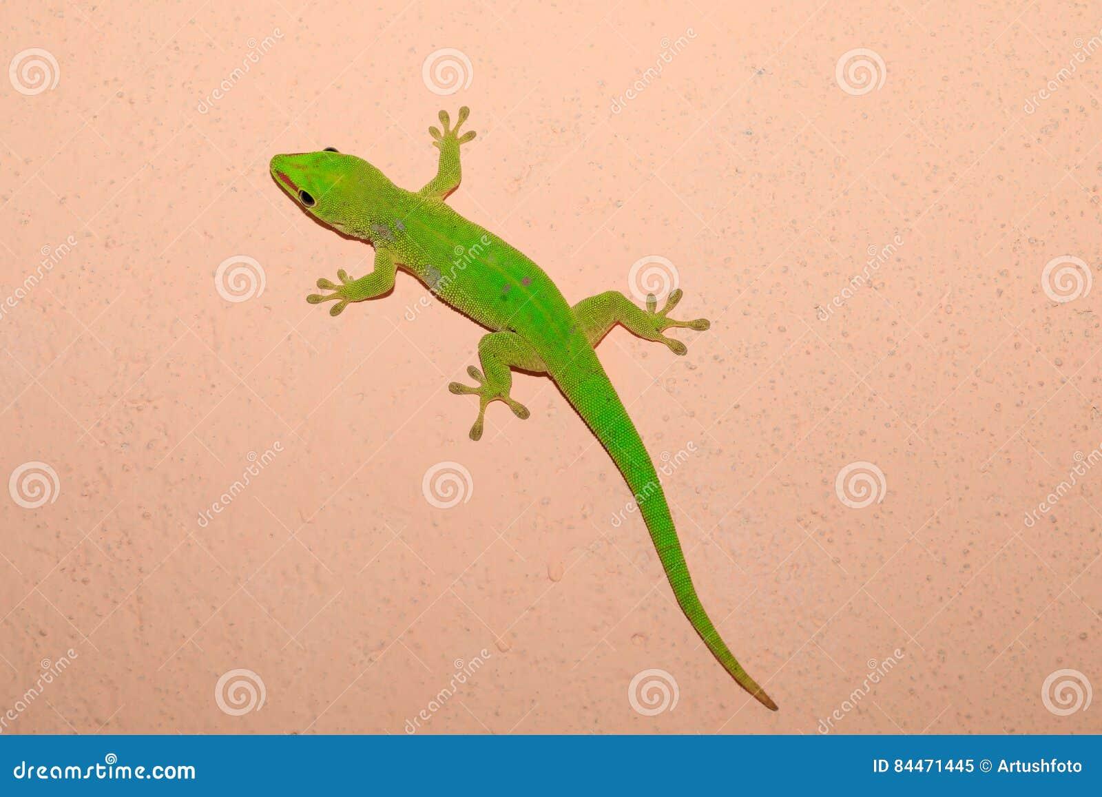 Gecko de jour de madagascariensis de Phelsuma, Madagascar